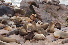 Sea lions in Cape Cross, Namibia, wildlife. Huge colony of Brown fur seal, Arctocephalus pusillus, in Cape Cross, Namibia, wide angle view, true wildlife royalty free stock photography