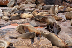 Sea lions in Cape Cross, Namibia, wildlife Royalty Free Stock Images