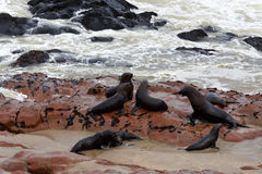 Sea lions in Cape Cross, Namibia, wildlife Royalty Free Stock Image