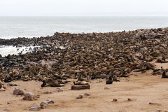 Sea lions in Cape Cross, Namibia, wildlife Royalty Free Stock Photography