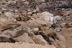 Sea lions in Cape Cross, Namibia, wildlife Royalty Free Stock Photos