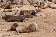 Sea lions in Cape Cross, Namibia, wildlife Stock Photos