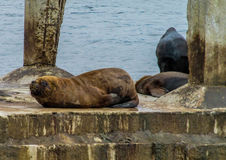 Sea lions on the city beach. In Valparaiso, Chile Pacific Ocean royalty free stock photography