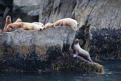 Sea lions on coastal rocks Stock Photos