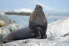 Sea lions colony, Beagle Channel, Argentina Stock Image