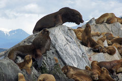 Sea lions colony, Beagle Channel, Argentina Stock Photos