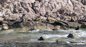 Sea lions colony Royalty Free Stock Images