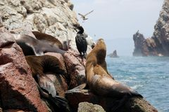 Sea Lions and Cormorant Royalty Free Stock Photos