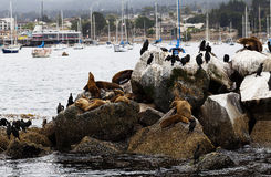 Sea Lions and Cormorants On Breakwater Monterey Bay Stock Image