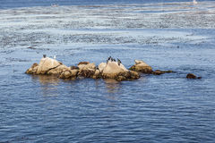 Sea Lions, cormorants and other birds relax at a rock in the oce Royalty Free Stock Image
