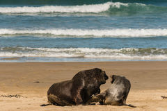 Sea lions in courtship Stock Images