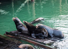 Sea lions on a dock Royalty Free Stock Photos