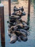 Sea lions on a dock Stock Photos