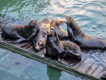 Sea lions on a dock Royalty Free Stock Image