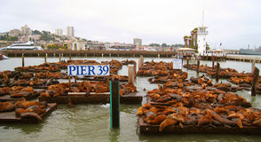 Sea lions enjoy life. Sea lions relaxing on the harbor, San Franciscos famous sea lions, sea lion bunch, sea lion sleeping, a little harbor, Pier 39 Stock Photography