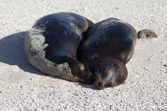 Sea lions enjoying some beachtime, Galapagos Royalty Free Stock Images
