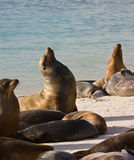 Sea Lions - Espanola - Galapagos Islands. Galapagos Sea Lion colony at Gardner Bay on the island of Espanola in the Galapagos Islands - Ecuador stock image