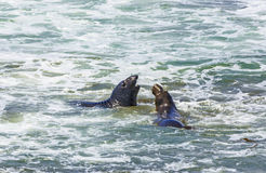Sea lions fight in the waves of the ocean. Male sea lions fight in the waves of the ocean Stock Images