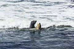 Sea lions fight in the waves of the ocean Stock Photography