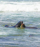 Sea lions fight in the waves of the ocean Stock Image