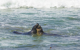 Sea lions fight in the waves of the ocean Royalty Free Stock Photos