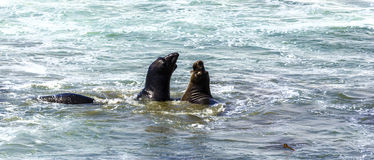 Sea lions fight in the waves of the ocean Royalty Free Stock Photography