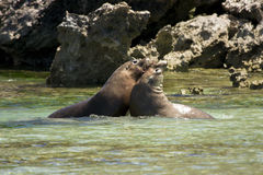 Sea lions fighting Stock Image