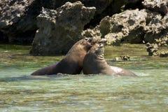 Sea lions fighting stock image