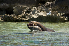 Sea lions fighting Royalty Free Stock Images