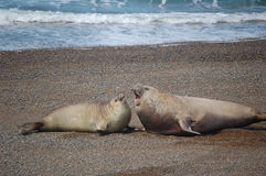 Sea-Lions fighting. Two sea-lions fighting on the shore of the Patagonian South Atlantik Stock Image