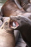 Sea lions fighting Royalty Free Stock Image