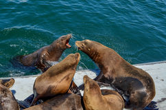 Sea lions fighting Stock Photos