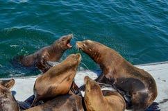 Sea lions fighting Stock Photos