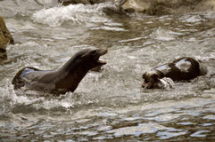 Sea lions fighting Stock Images
