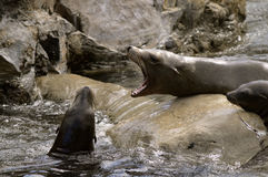 Sea lions fighting Royalty Free Stock Photos
