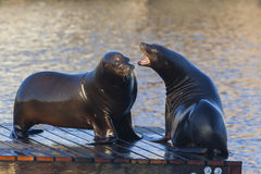 Sea Lions fighting. Sea Lions at Pier 39 of San Francisco's Fisherman's Wharf Stock Photos