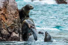 Sea lions fighting for a rock in the peruvian coast at Ballestas Royalty Free Stock Photos