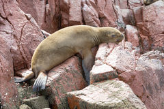 Sea lions fighting for a rock in the peruvian coast at Ballestas Stock Image