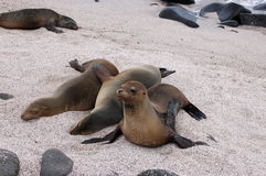 Sea Lions,Galapagos. Sea Lions resting on the beach of Loberia, San Cristobal Island Stock Photos