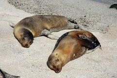 Sea Lions, Galapagos. Photo was taken on Loberia Beach, San Cristobal Island, Galapagos Royalty Free Stock Photography