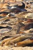 A sea of sea lions on the Galapagos Islands. A group of sea lions on the Galapagos Islands, Ecuador stock photo