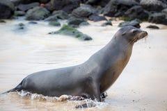 Sea lions, Galapagos Islands Royalty Free Stock Photo