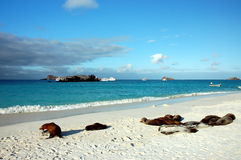 Sea lions in Gardner Bay,Galapagos. Royalty Free Stock Images
