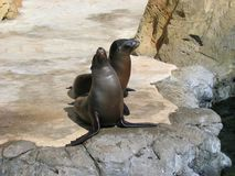Sea Lions in their Habitat. Aquarium of the Pacific, Long Beach, California, USA royalty free stock photography