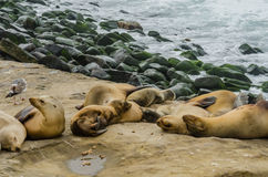 Sea Lions Grouped and Sleeping on Rocks Royalty Free Stock Photos