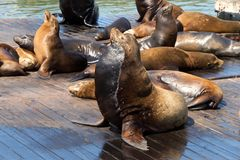Sea Lions hauled out on wood platforms stock image