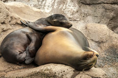 Sea lions hugging Royalty Free Stock Images