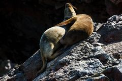 Sea lions hugging on a rock, Islas Ballestas, Paracas Peninsula,. Two sea lions hugging on a rock, Islas Ballestas, Paracas Peninsula, Peru Royalty Free Stock Photo