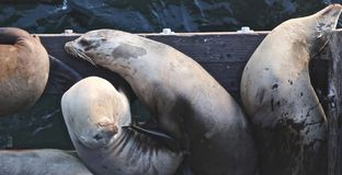 Sea lions. Hungry tired sea lions on Santa Cruz pier in California Royalty Free Stock Photography