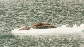 Sea Lions on Iceberg Royalty Free Stock Image